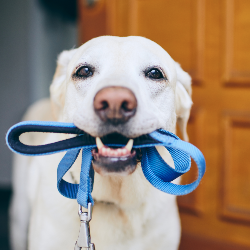 Dog Lead in Mouth
